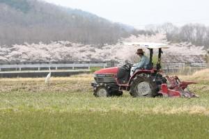 桜バックなのどかな景色でトラクターに乗って農作業をする男性