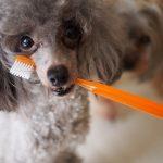 愛犬が歯周病で口臭が臭い場合の対処法