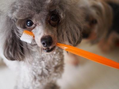 歯ブラシを咥えるプードル犬